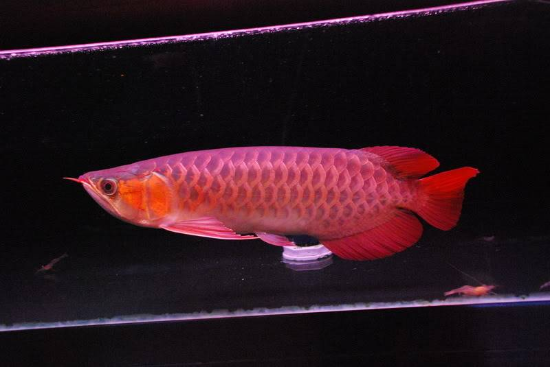 super red arowana fish on sale