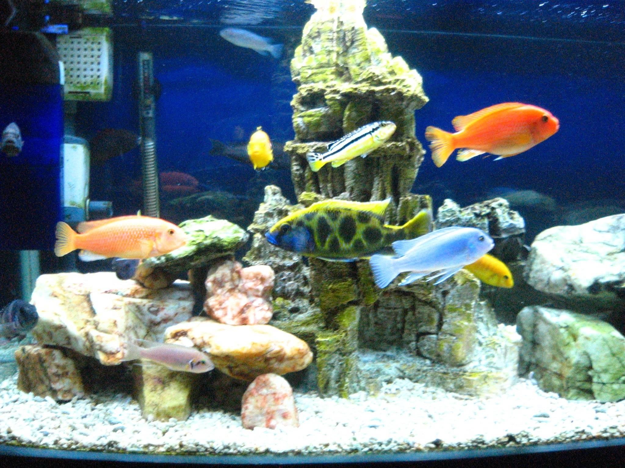 aquarium fish cichlids 3 10 from 82 votes aquarium fish cichlids 4 10 ...