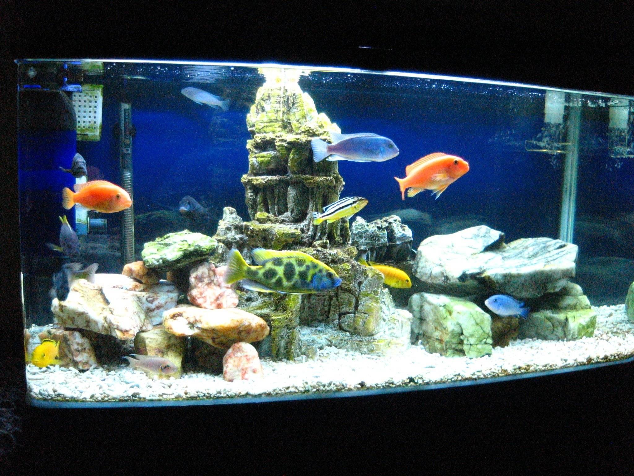 Cichlid Fish Tank Cichlid Aquarium Aqua Fish