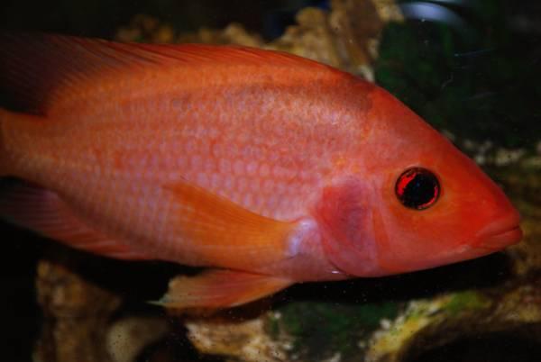 Red devil for Red devil fish
