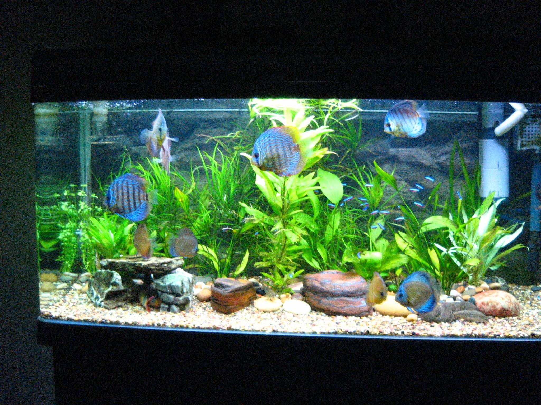 discus fish aquarium discus fish 2017 fish tank maintenance. Black Bedroom Furniture Sets. Home Design Ideas